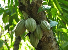 young cacao plant